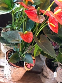 Anthurium in bark planter   £15.00