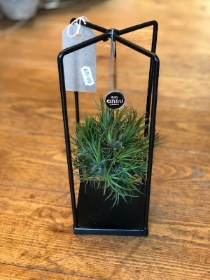 Hanging air plant   Square